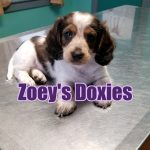 Mini dachshund puppies for sale Georgia – Zoeys Doxies